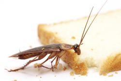хлебарки в кухнята